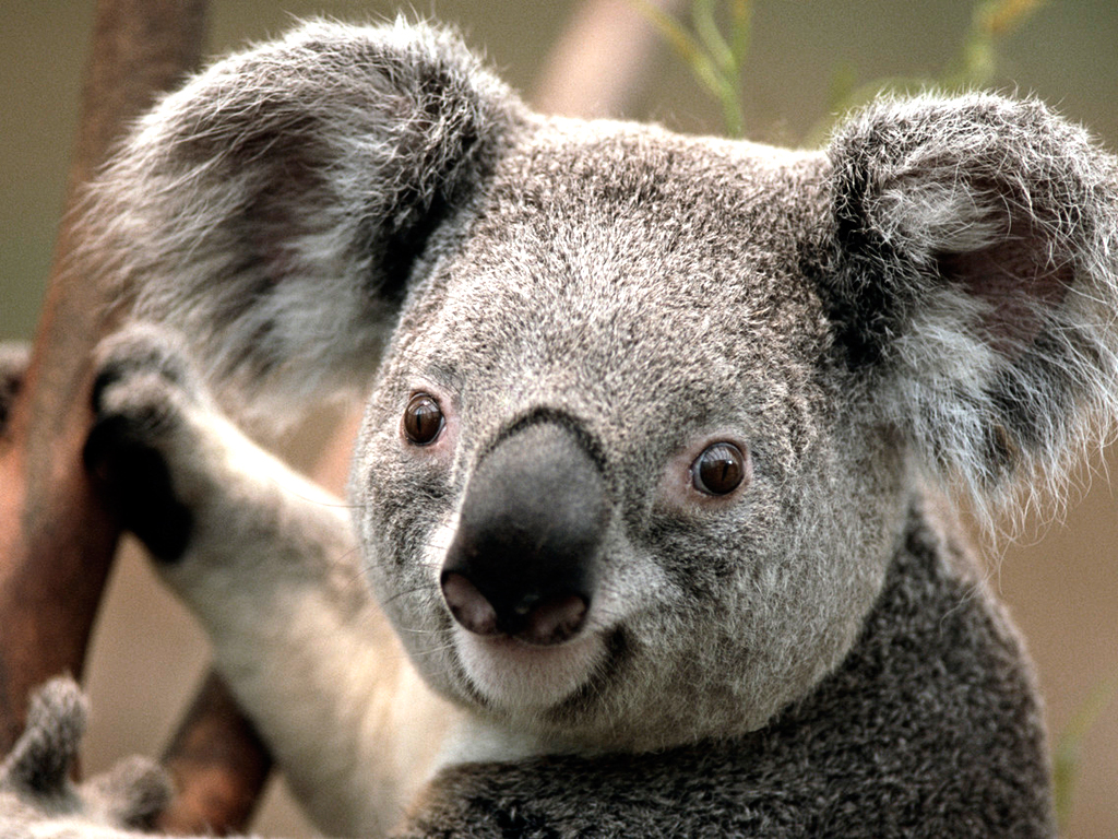 Click image for larger version  Name:Koala.jpg Views:12 Size:762.5 KB ID:1960141