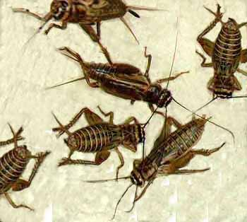 Click image for larger version  Name:crickets.jpg Views:27 Size:23.5 KB ID:1971785