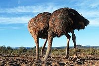 Click image for larger version  Name:ostrich.jpg Views:45 Size:48.0 KB ID:2133190