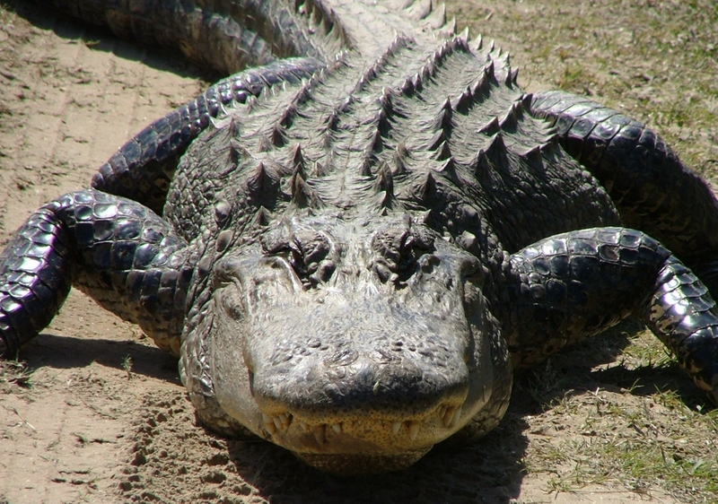 Click image for larger version  Name:gator-003.jpg Views:13 Size:384.0 KB ID:2221018